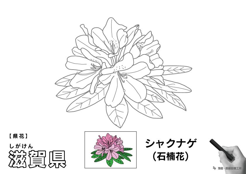 県花 滋賀県 シャクナゲ(石楠花)のイラスト・ぬりえ