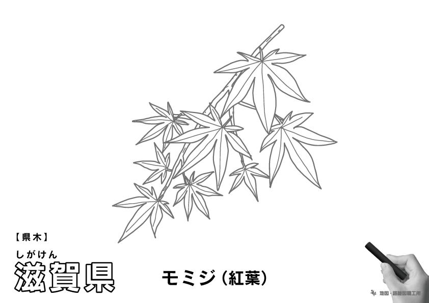 県木 滋賀県 モミジ(紅葉)のイラスト・ぬりえ