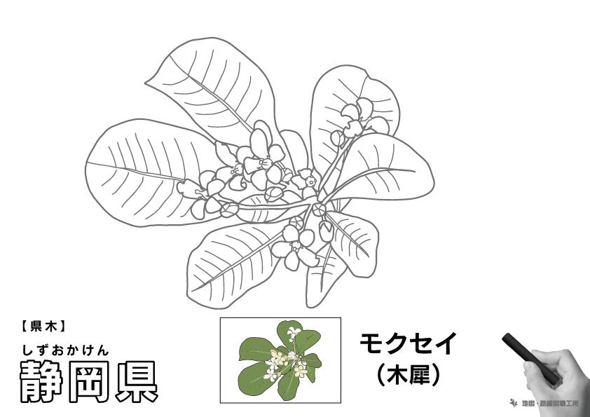 県木 静岡県 モクセイ(木犀)のイラスト・ぬりえ