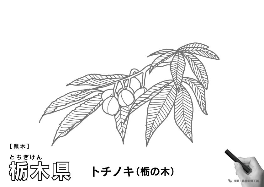 県木 栃木県 トチノキ(栃の木)のイラスト・ぬりえ