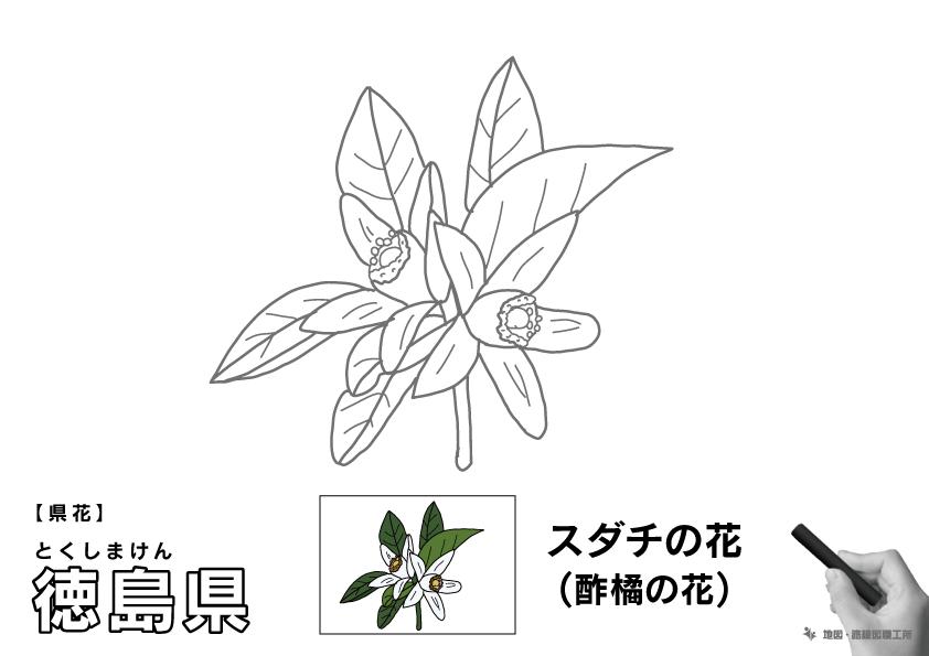 県花 徳島県 スダチの花(酢橘の花)のイラスト・ぬりえ