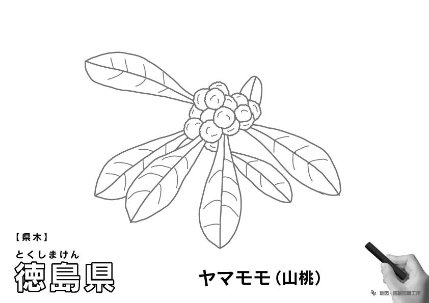 県木 徳島県 ヤマモモ(山桃)のイラスト・ぬりえ