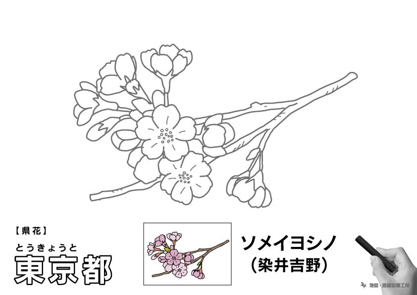 県花 東京都 ソメイヨシノ(染井吉野)のイラスト・ぬりえ