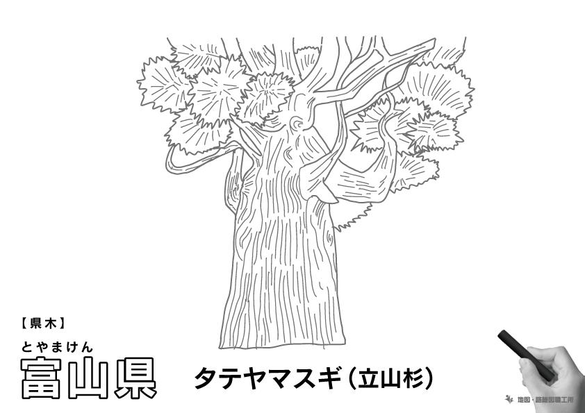 県木 富山県 タテヤマスギ(立山杉)のイラスト・ぬりえ