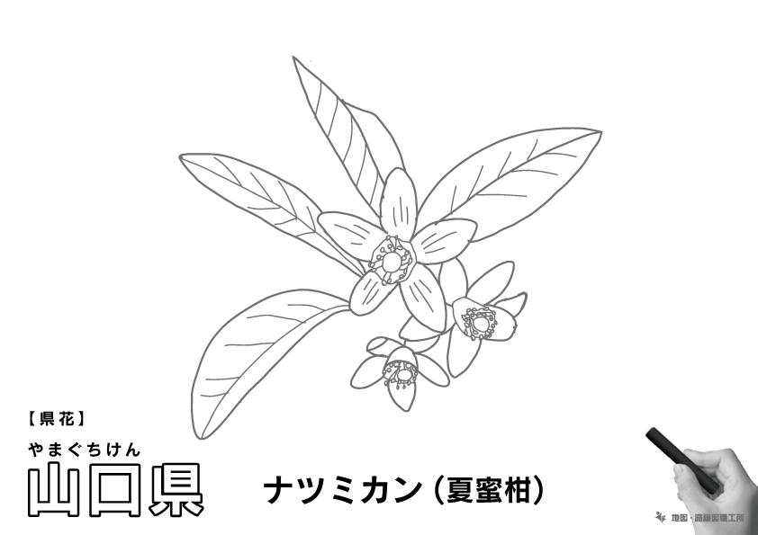 県花 山口県 ナツミカン(夏蜜柑)のイラスト・ぬりえ