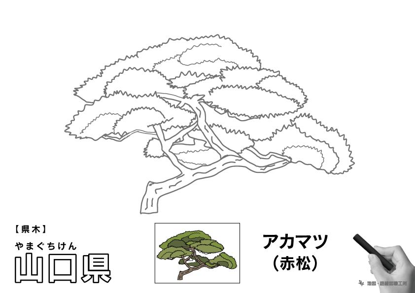 県木 山口県 アカマツ(赤松)のイラスト・ぬりえ